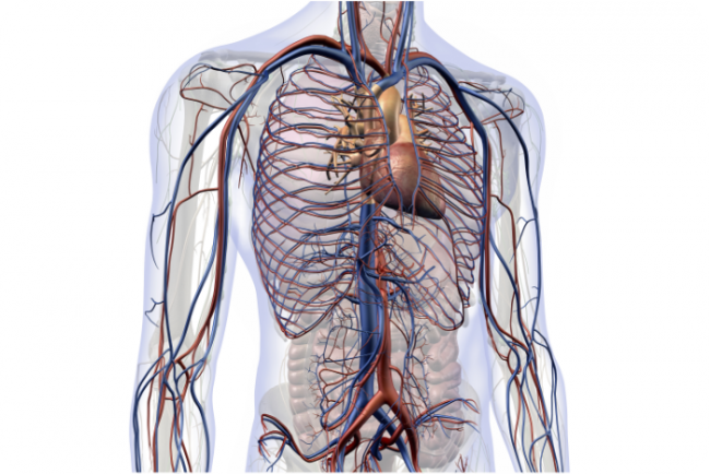 transparent body showing the heart, veins and blood vessels throughout the body